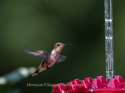 Hummingbirds 2 Aug 2017 -2833