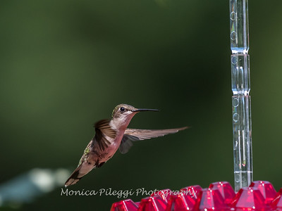 Hummingbirds 2 Aug 2017 -2835