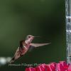 Hummingbirds 2 Aug 2017 -2835