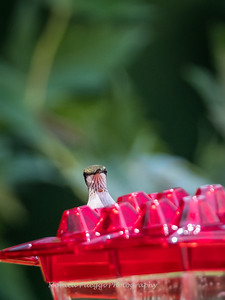 Hummingbirds 2 Aug 2017 -2908