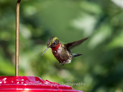 Hummingbirds 2 Aug 2017 -2946