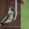 Hummingbirds 2 Aug 2017 -2933