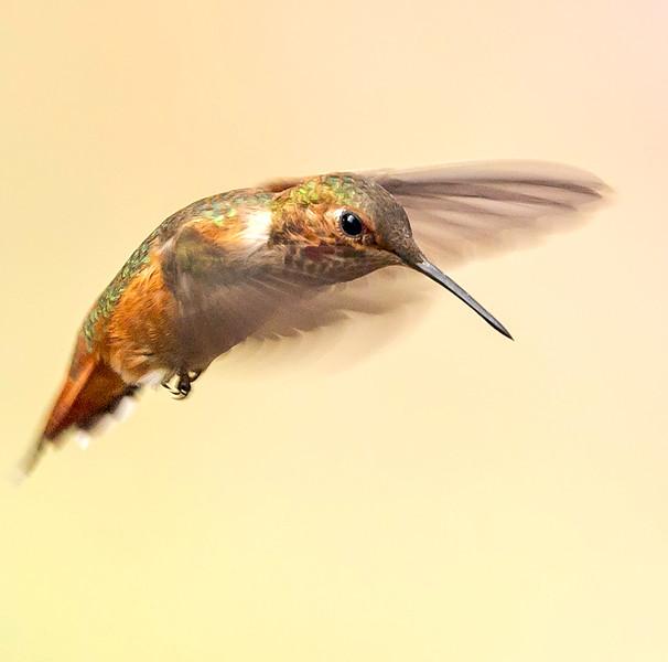 Rufous Hummingbird  in Motion - Arizona