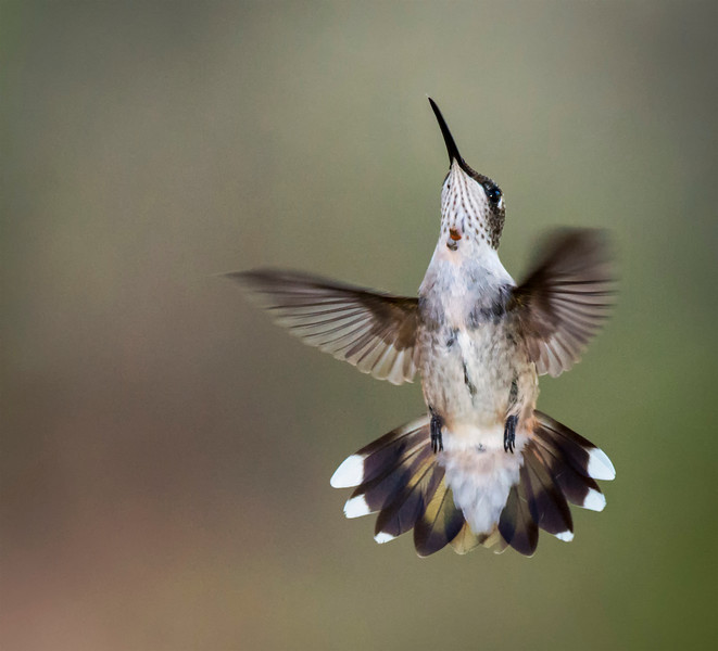 Ruby-throated Hummingbird (first year male)