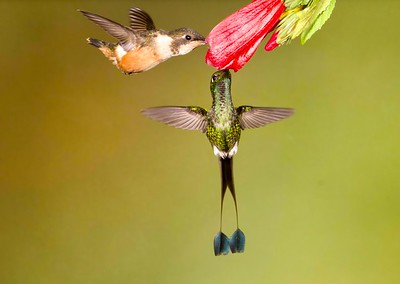 Amethyst Woodstar and White-booted Racket-tail