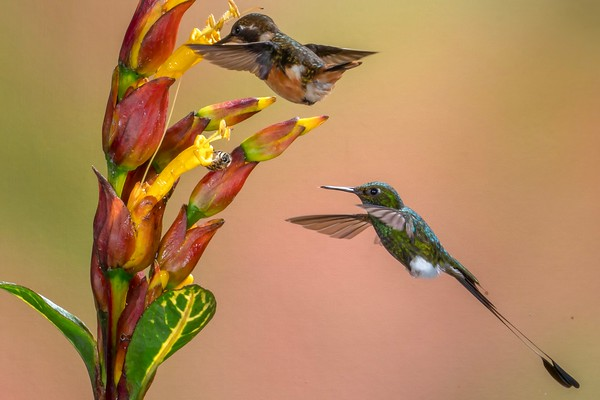 White-booted Racket-tail and Amethyst Woodstar