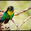 Fierythroated Hummingbird