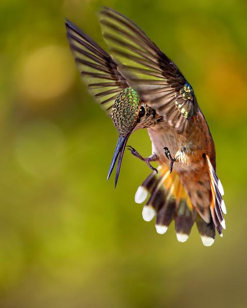 Rufous Hummingbird - Arizona