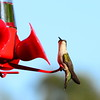 Hummingbirds Aug 2013 (10)-001