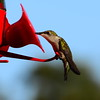 Hummingbirds Aug 2013 (11)-001