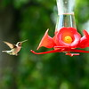 Hummingbirds Aug 2013 (14)-001