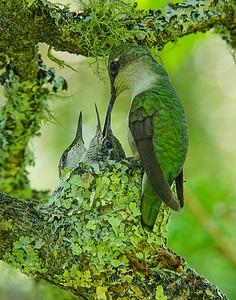 Hummingbird Family 007