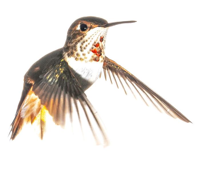 High Key Rufous Hummingbird - Arizona
