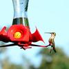 Hummingbirds Aug 2013 (9)-001