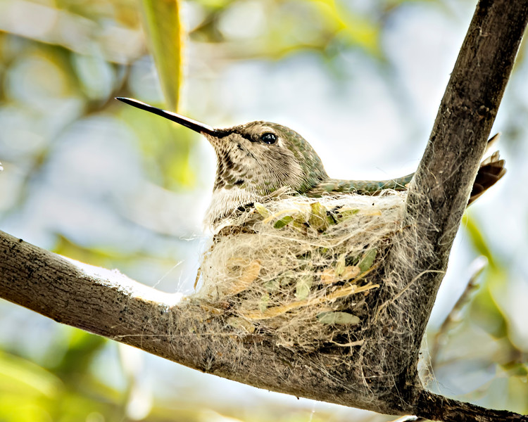 Hummingbird Nest - Arizona