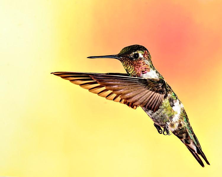 Anna's Hummingbird in living color - Arizona