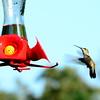 Hummingbirds Aug 2013 (7)-001