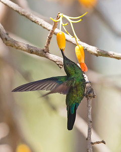 Green-throated Carib Hummingbird