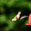 Hummingbird Sep 2013 (4)-001