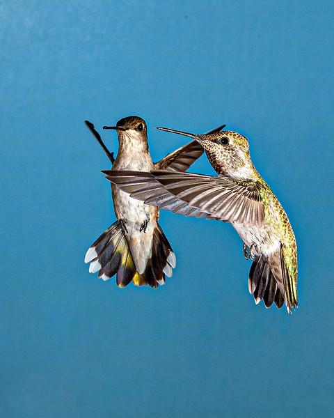 Dancing Hummingbirds - Arizona