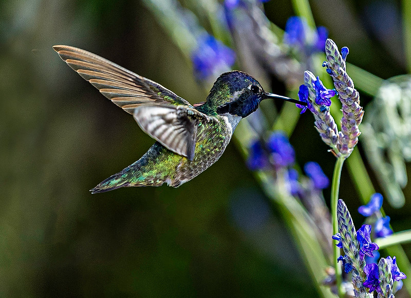 Hummingbird - Arizona