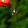 Hummingbird Sep 2013 (3)-001