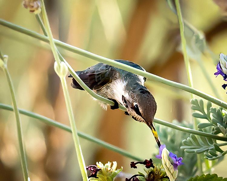 Hummingbird Long Reach - Arizona