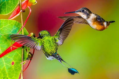 Booted Racket-tail and Purple-throated Woodstar