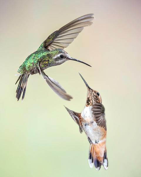 Hummingbird Battle - Arizona