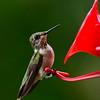 Hummingbirds Aug 2013 (20)-001
