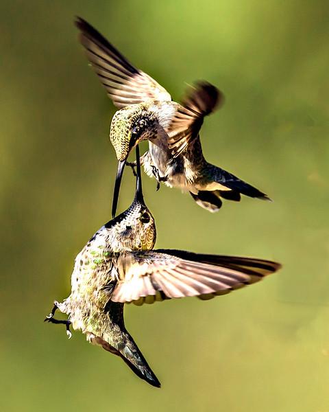 Hummingbird Sword Fight - Arizona