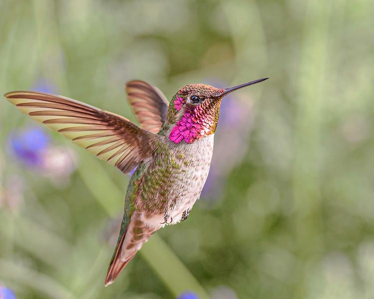 "Anna""s Hummingbird - Arizona"