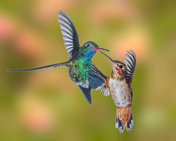 Hummingbird Fight - Rufous -vs- Broadbill (Bet on the Rufous) - Arizona