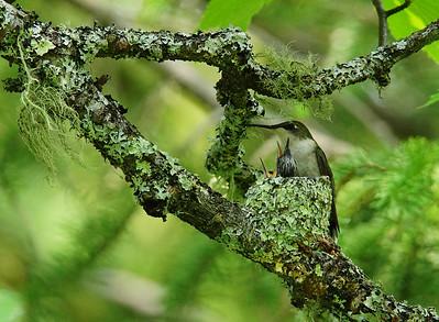 Hummingbird Family 003