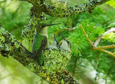 Hummingbird Family 004