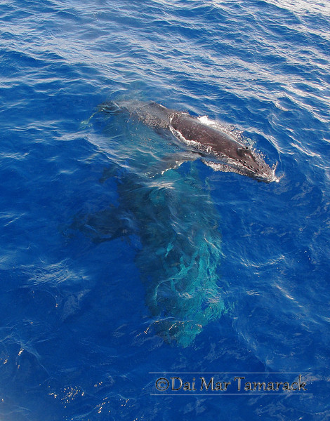 A baby humpback whale plays at the surface as mom hovers protectively just below