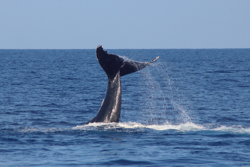 Water cascades off the tail of a humpback whale before being slammed back down in a loud display. The tail is 15ft across, like two picnic tables pushed together.