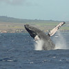 Breaching humpback whale in the windy waters of Ma'alaea Bay, Maui