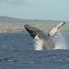 Breaching humpback whale in the windy waters of Ma'alaea Bay, Maui