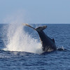 Peduncle throw, on of the most aggressive maneuvers from Humpback whales.
