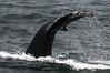 Tail of humpback whale (Megaptera novaeangliae)