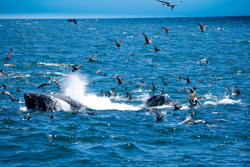 Two humpbacks partaking in lunge feeding on a bait ball, gathered together by the dolphins (also in the shot).