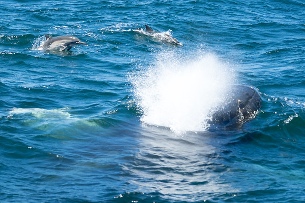 Two dolphins frolic with a surfacing humpback.