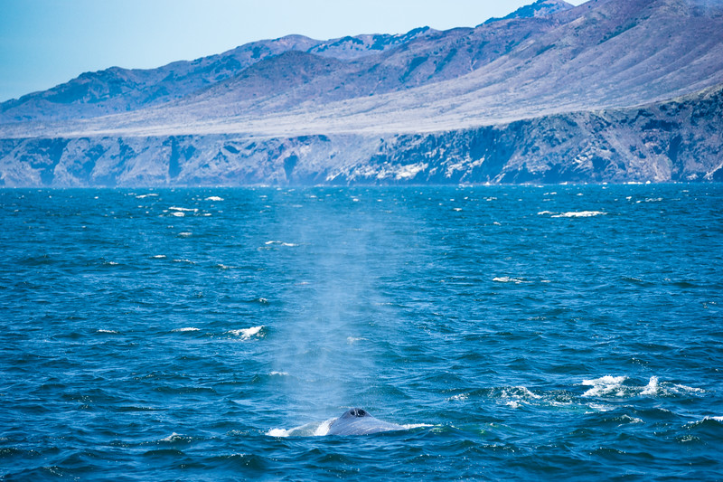 Humpback (Megaptera novaeangliae) and the west end of Santa Cruz Island