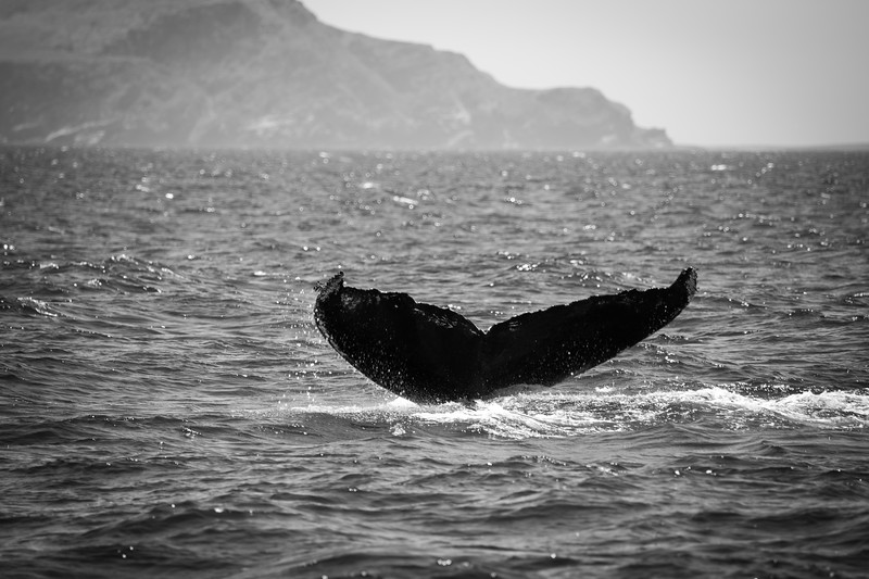 Tail of the humpback, with Santa Cruz Island in the background.
