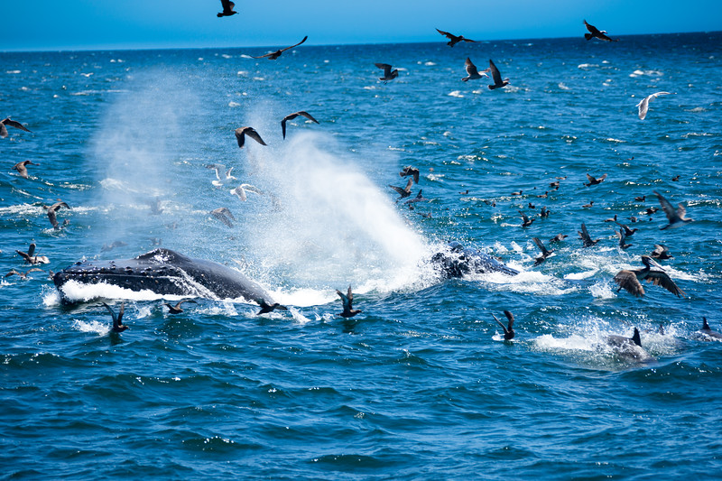 More lunge feeding on the dolphins' bait ball.  The dolphins can only try to avoid being swallowed whole.