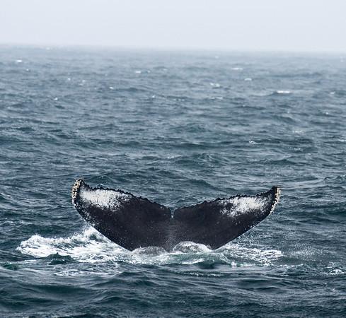 Humpback and Blue Whales - Santa Barbara Channel
