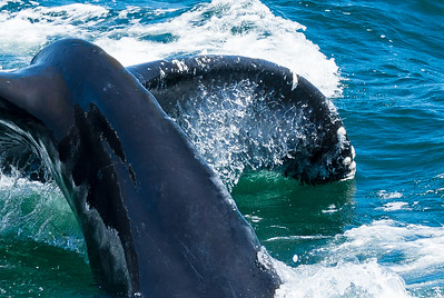 Humpback prepares for a long dive, called a sound.
