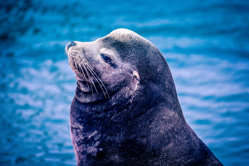 California Sea Lion - Male.  Note the large sagittal crest.