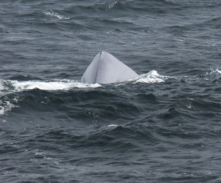 Fleeting glimpse of a Blue Whale (Balaenoptera musculus), the largest animal to have ever existed.  Note the grayish, blue color and the stubby dorsal fin.  Our captain spotted this whale from about a mile away from its distinctive spray, which shoots in a narrow column about 20' above the surface.